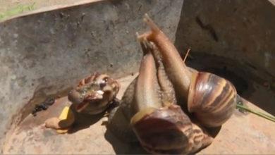 Photo of Plaga de caracoles gigantes procedente de Africa invade Cuba