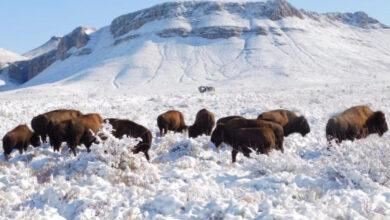 Fijan plazo a rancho para aclarar caza de bisonte 16